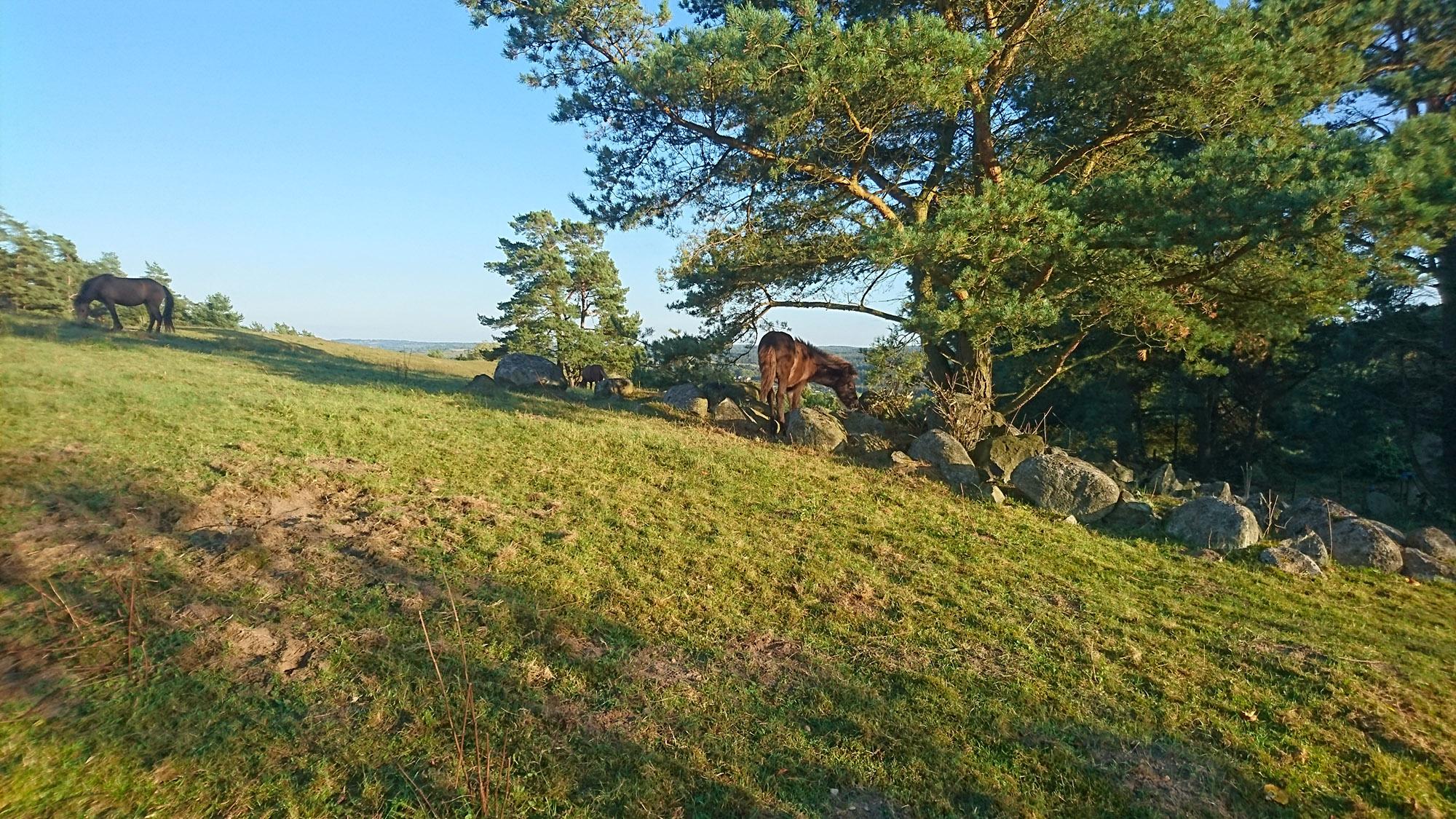 Det är en fridfull kväll för hästarna på heden i kvällssolen.