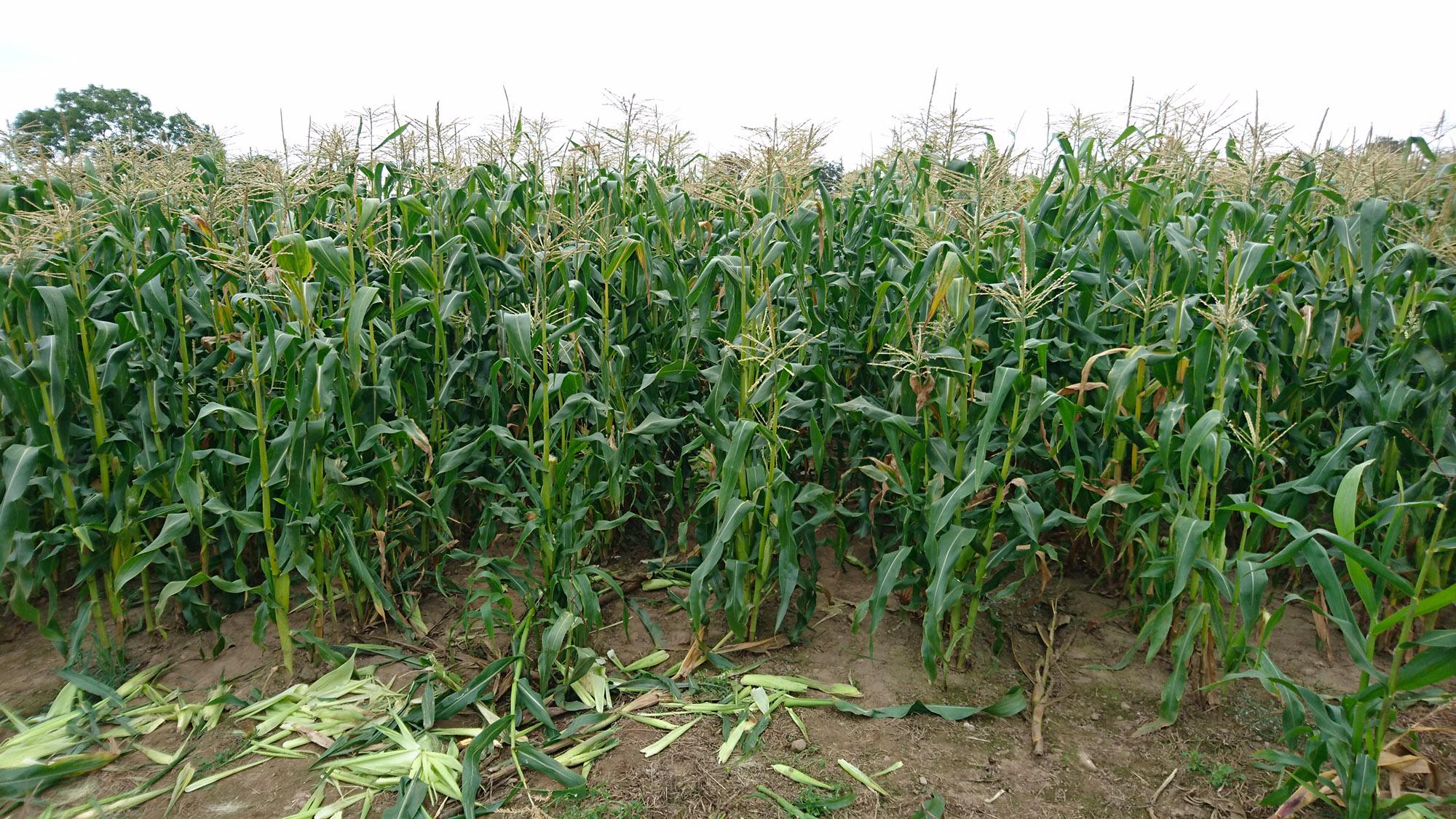 självplock majs skåne