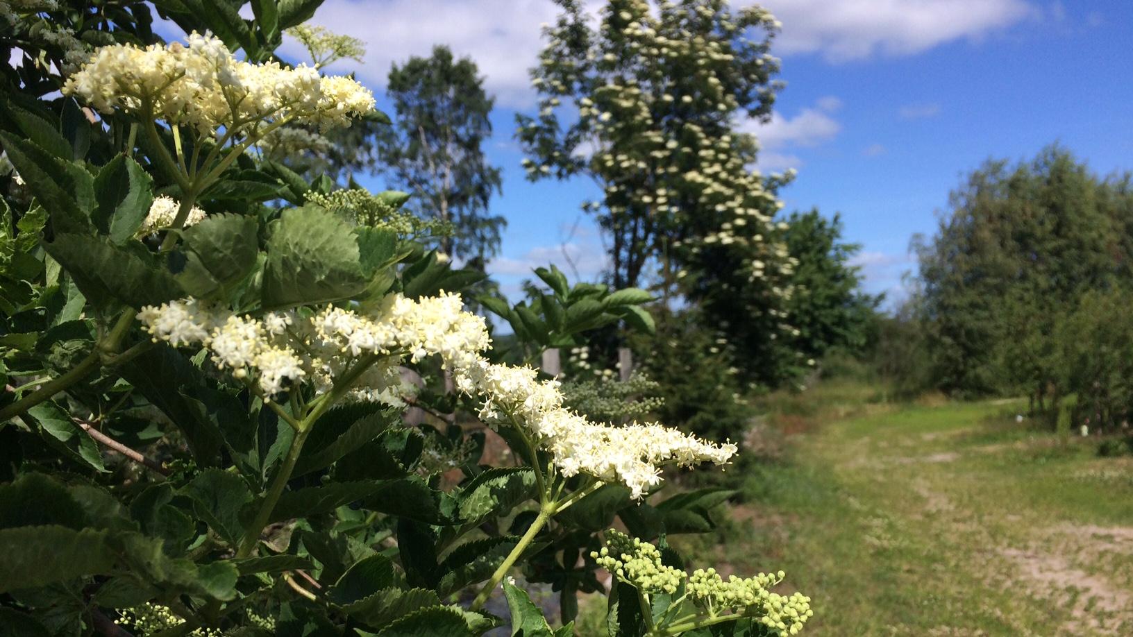 Det är väl, igt lätta att skilja äkta fläder, Sambucus nigra, från giftiga druvfläder , Sambucus racemosa, och sommarfläder, Sambucus ebulus.