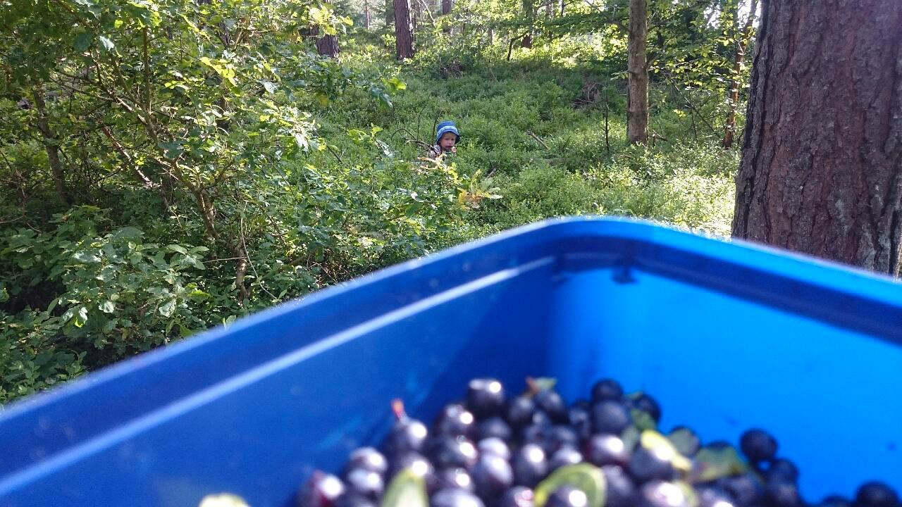 Putte i blåbärsskogen runt Brösarp.