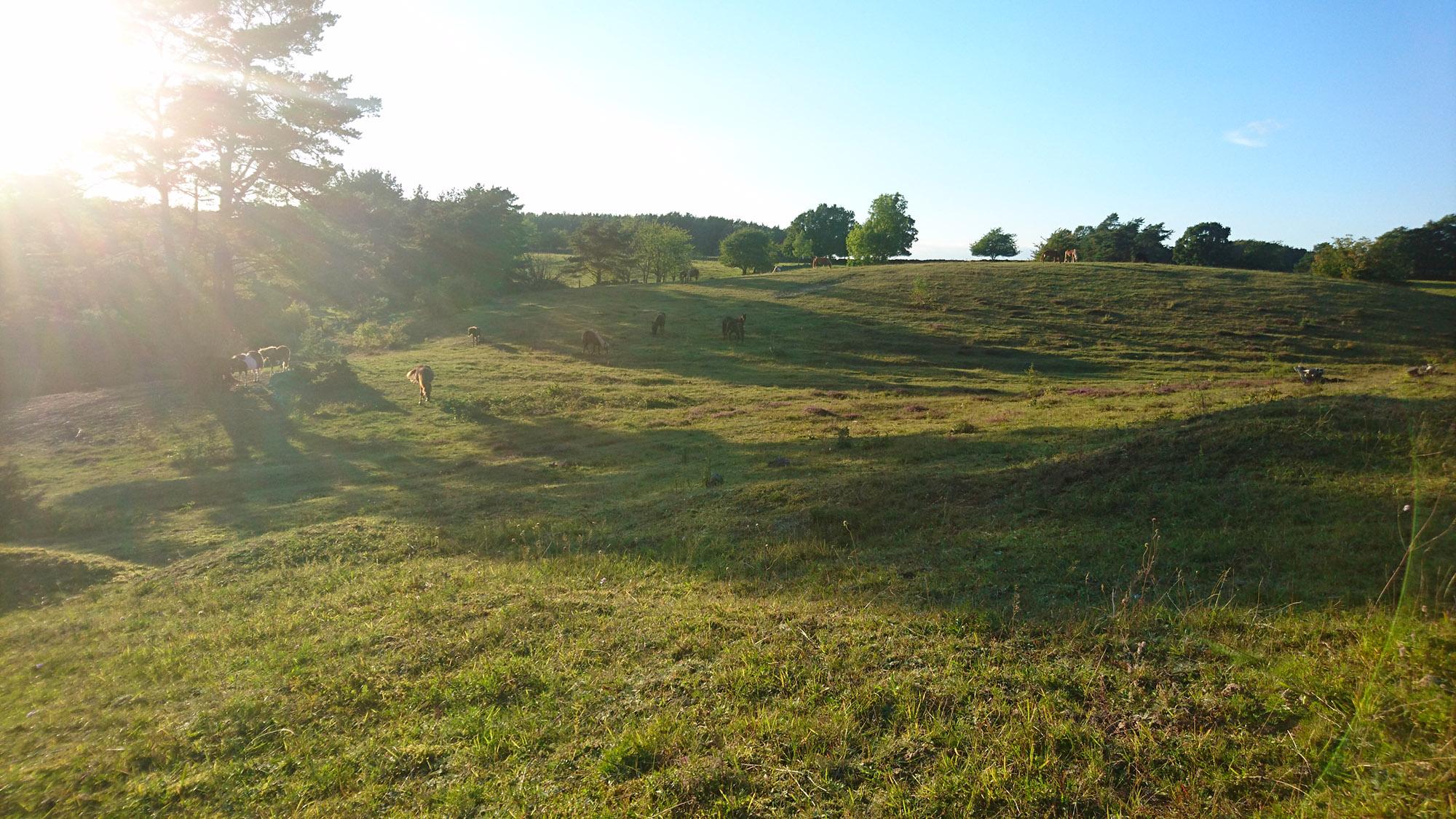 Heden högst upp på Brösarps norra backar är hem för både hästar och fjällskivlingar.