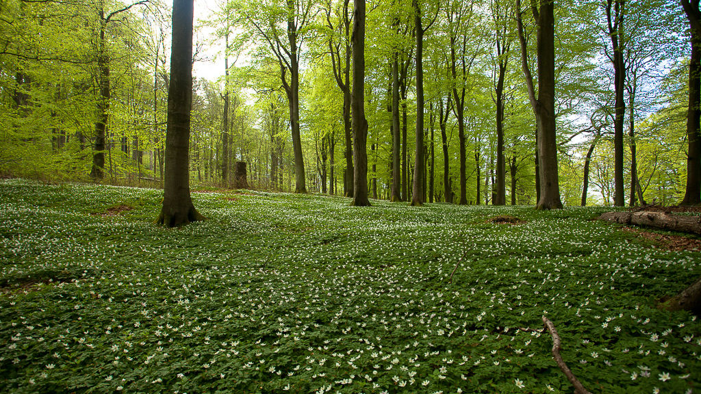 Bokskog utanför Brösarp.