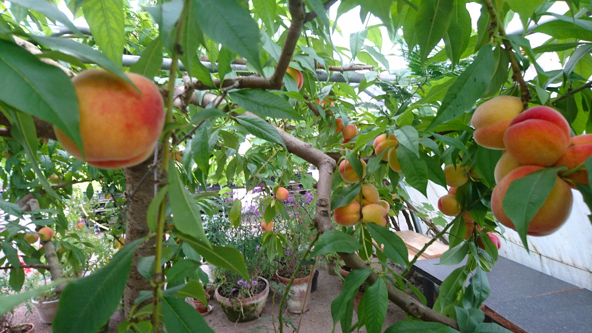 Persikorna dignar från persikoträden på Åbergs Trädgård och Café utanför Ystad.